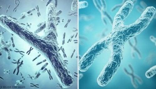 Das X- und Y-Chromosom in Spermien bestimmt das Geschlecht des Babys
