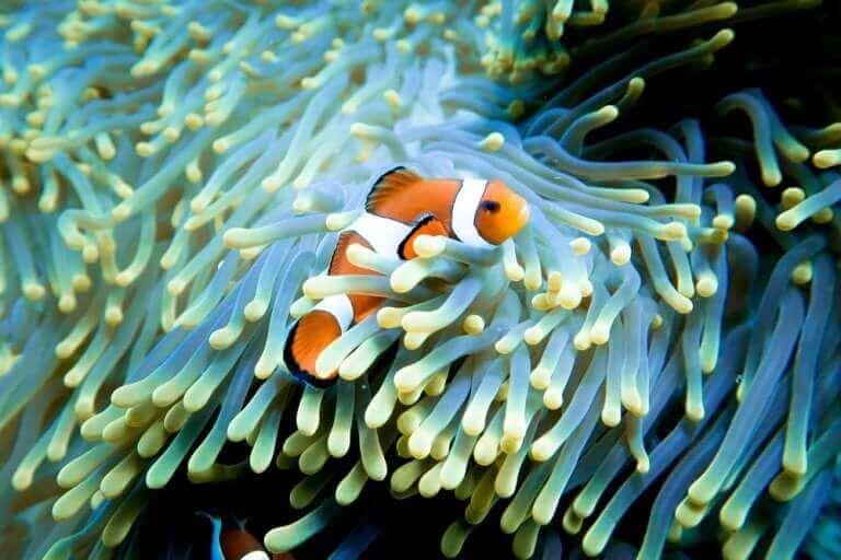 Bedeutung der Familie - Clownfisch