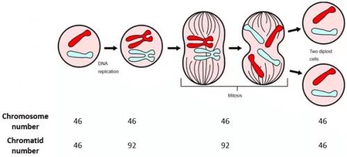 Meiose - Chromosomen